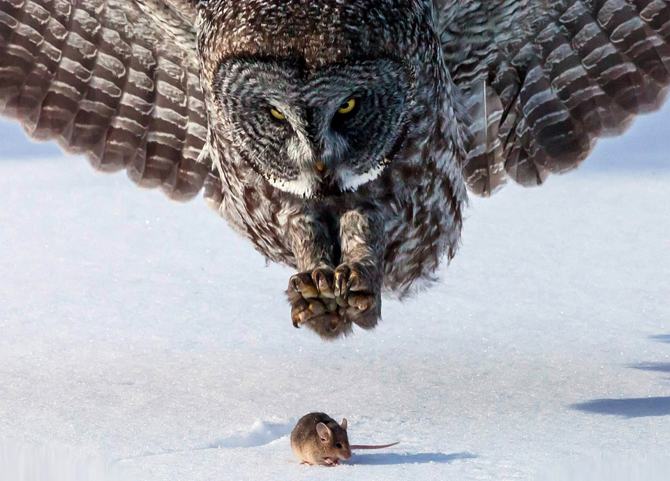 grey-owl-hunts-a-mouse