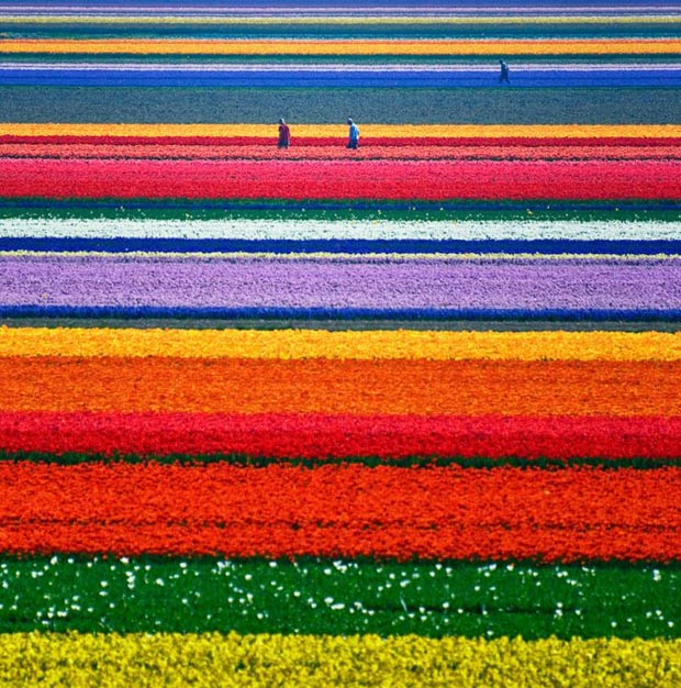 Tulip-Fields-in-Netherlands