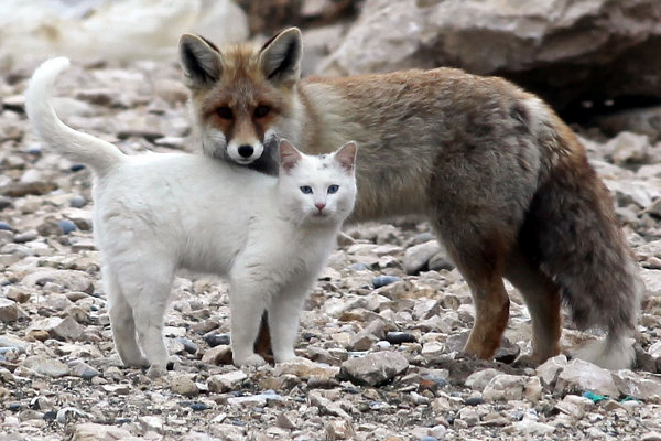 Wild Fox and Cat 1