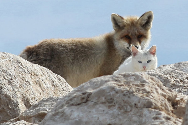 Wild Fox and Cat 2