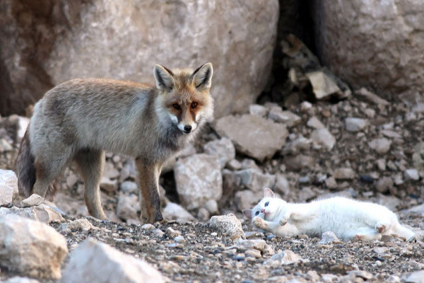 Wild Fox and Cat 7
