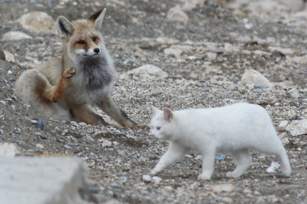 Wild Fox and Cat 8