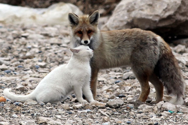 Wild Fox and Cat 9