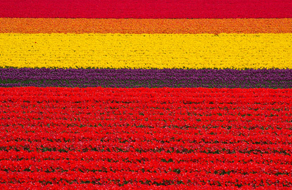 Tulip-fields-in-the-Netherlands-1