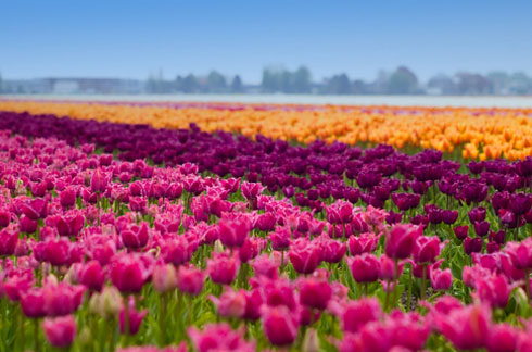 Tulip-fields-in-the-Netherlands-2
