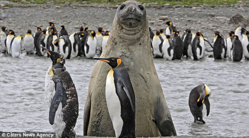 animal-photobomb-seal-photobombing-penguins