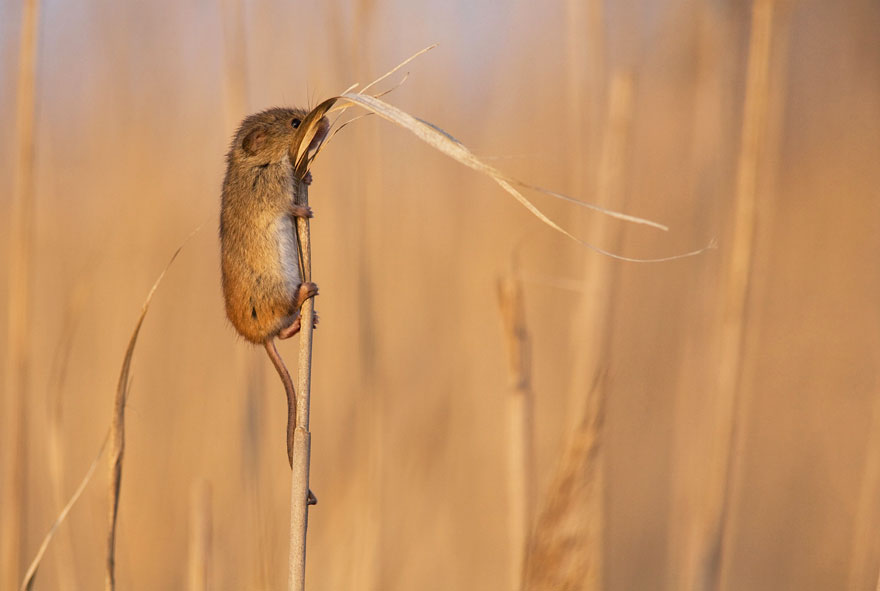 wild-mouse-photography-2