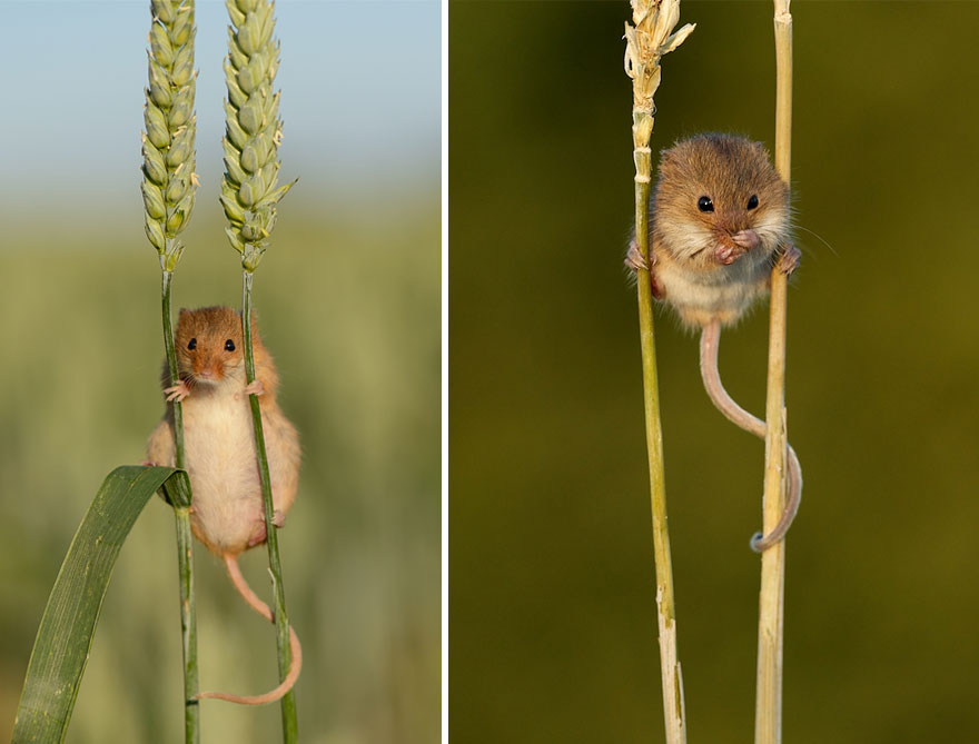 wild-mouse-photography-30