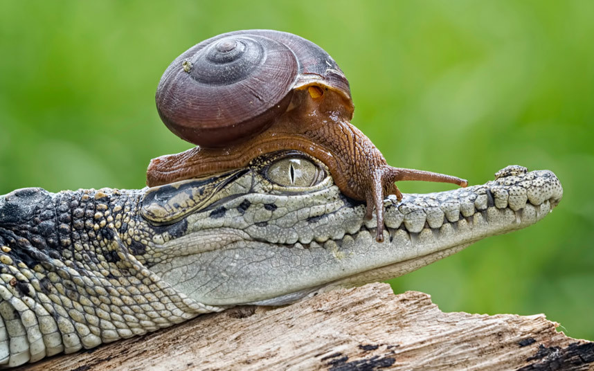 A baby crocodile makes an unlikely friend as a snail climbs