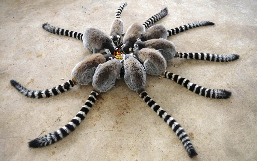 A family of lemurs settle down to a meal at the Qingdao Forest Wildlife World in Qingdao