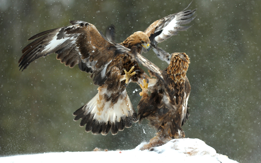 A female eagle swoops down on a male in a vicious unprovoked attack.