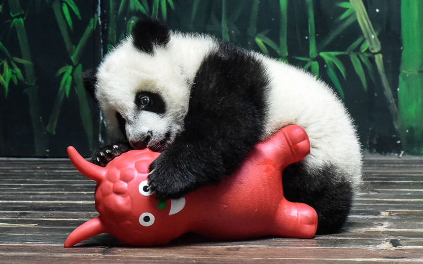 A five month old giant panda plays with a toy sheep