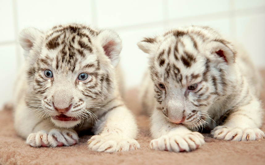 A pair of white Bengal tiger cubs