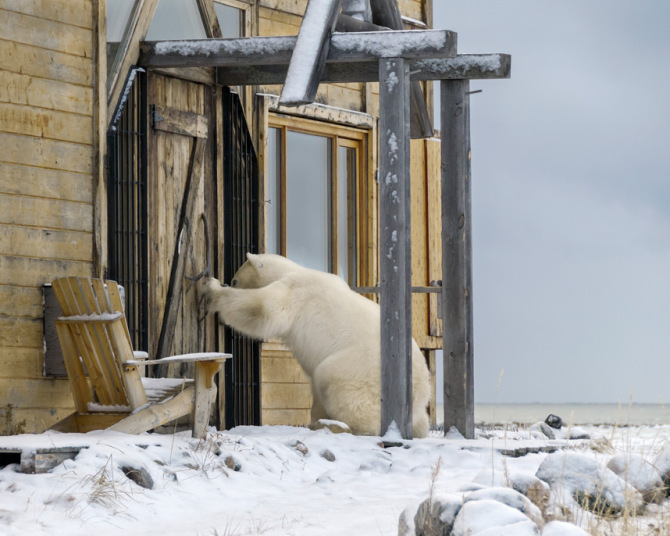 A polar bear appears to knock on the door of a wooden cabin