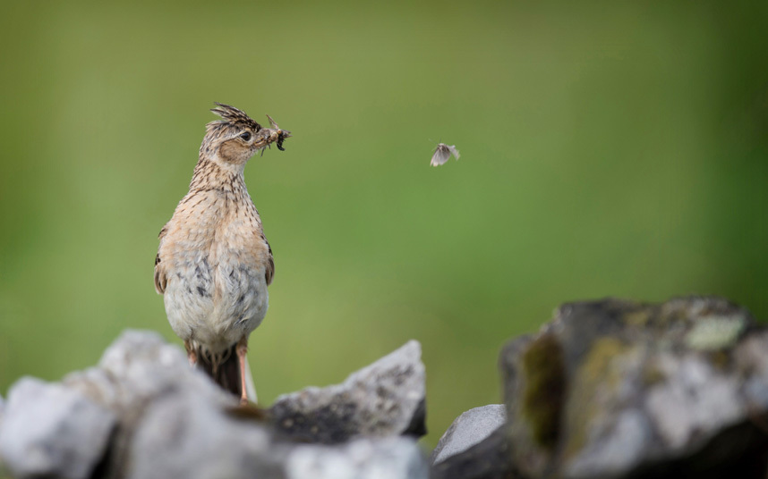 An hungry bird waits for its breakfast in the Peak District