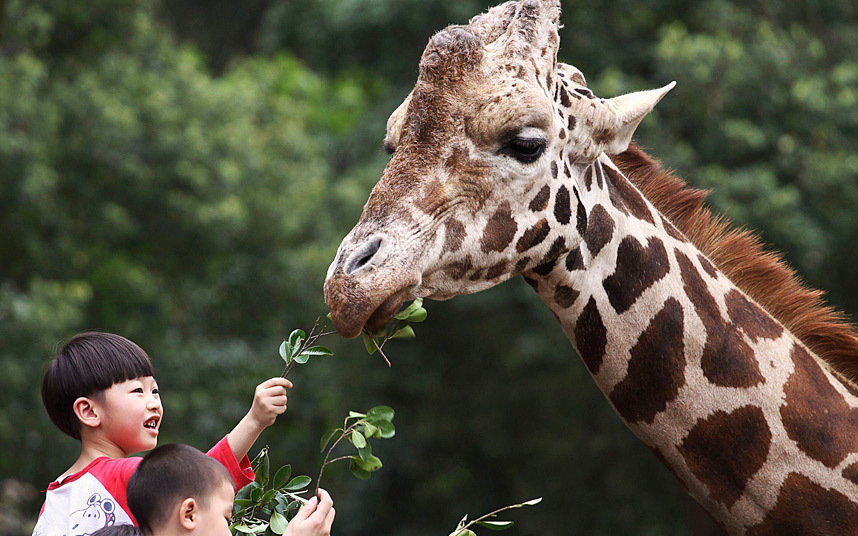 Children feed a giraffe at a zoo in Guangzhou, Guangdong province, China