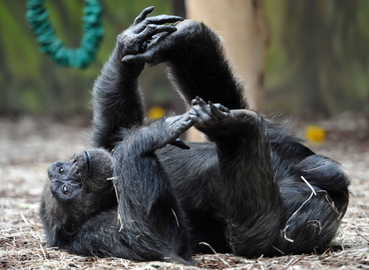 Chimpanzee female 'Babeta' relaxes in her enclosure at Zoo Dvur Kralove nad Labem