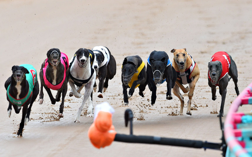 Greyhounds scamper after a 'hare' during a race meeting at The Meadows Greyhound track in Melbourne, Australia