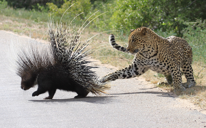 This leopard got itself into a prickly situation when it tried to lunch on a porcupine.