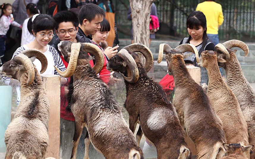 Visitors look at argalis at a zoo in Guangzhou, Guangdong province, China