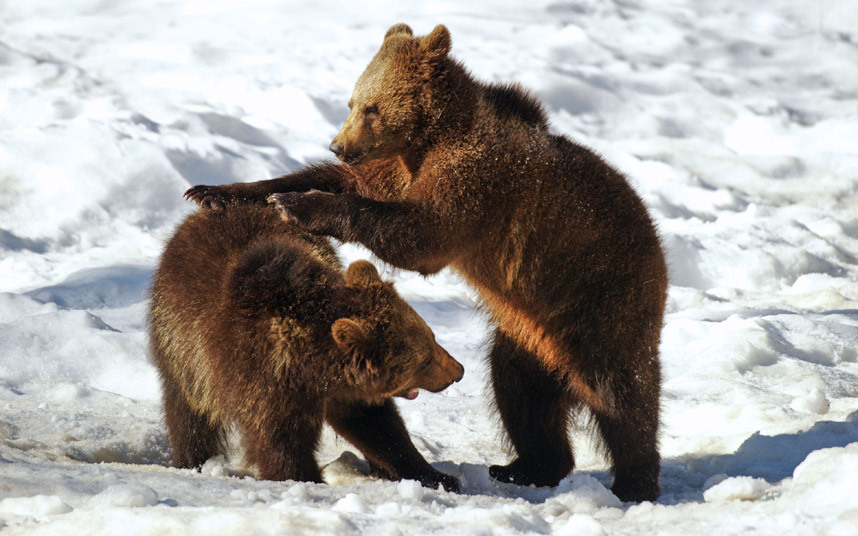 a pair of brown bear cubs play fight in a Bavarian Forest in Germany