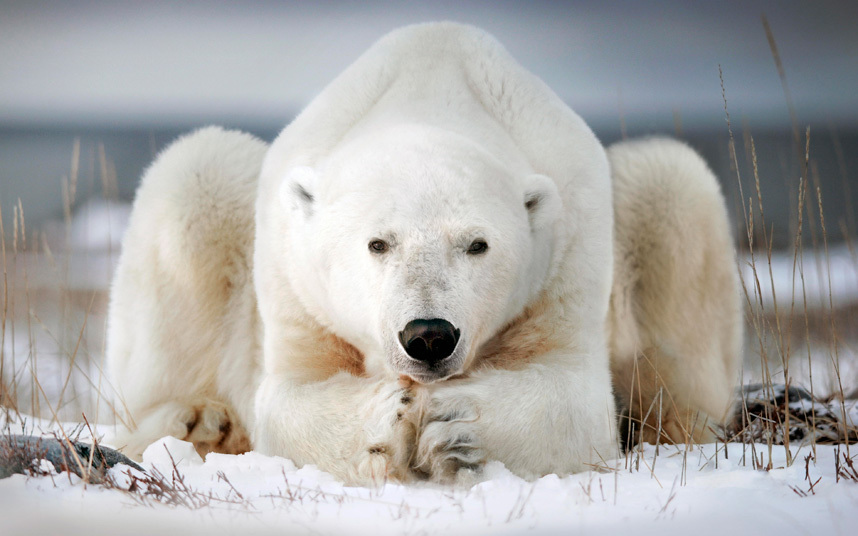 a polar bear chilling at Wapusk National Park, Canada