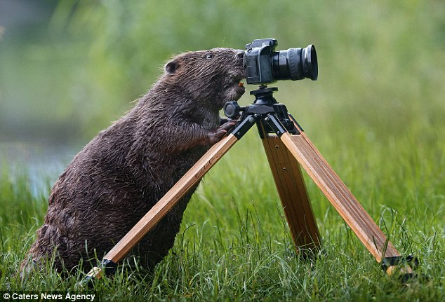 A beaver that looks like it is taking a picture