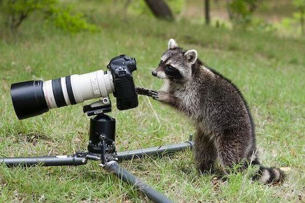 Raccoon Photographer
