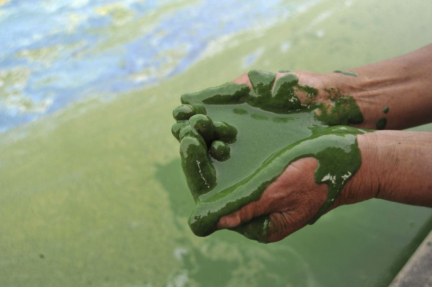 Fisherman cups a handful of water from the algae-filled Chaohu Lake in Hefei