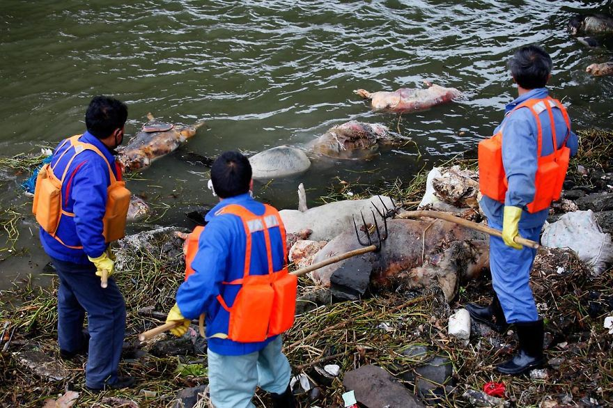 Over 3,000 dead pigs float in Huangpu River