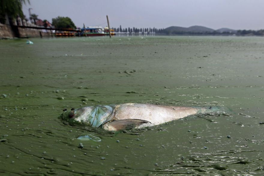 Dead fish in water filled with thick, muddy algae, in East Lake, Wuhan