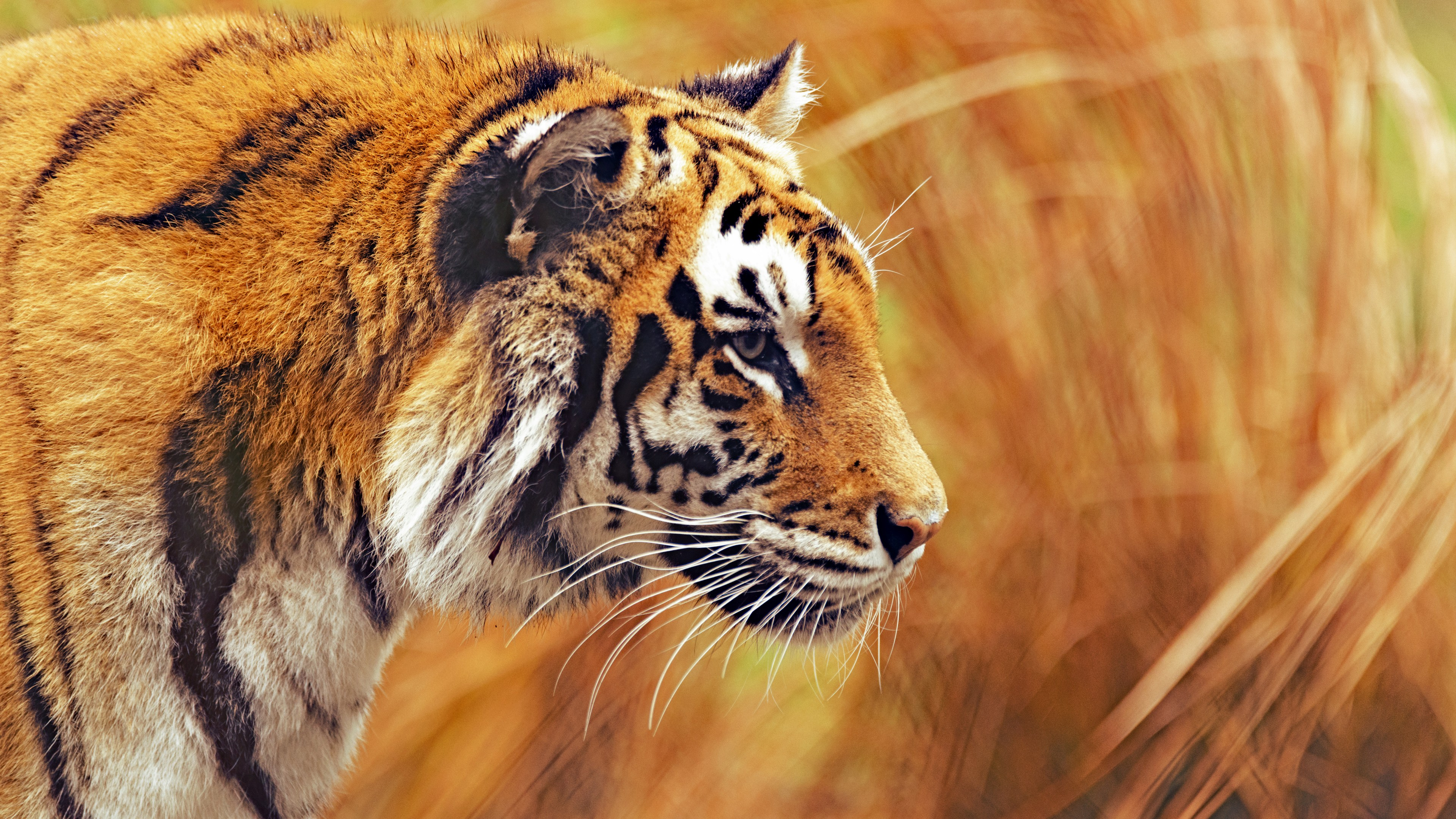 Bengal Tiger 4k Photo Background 3840x2160