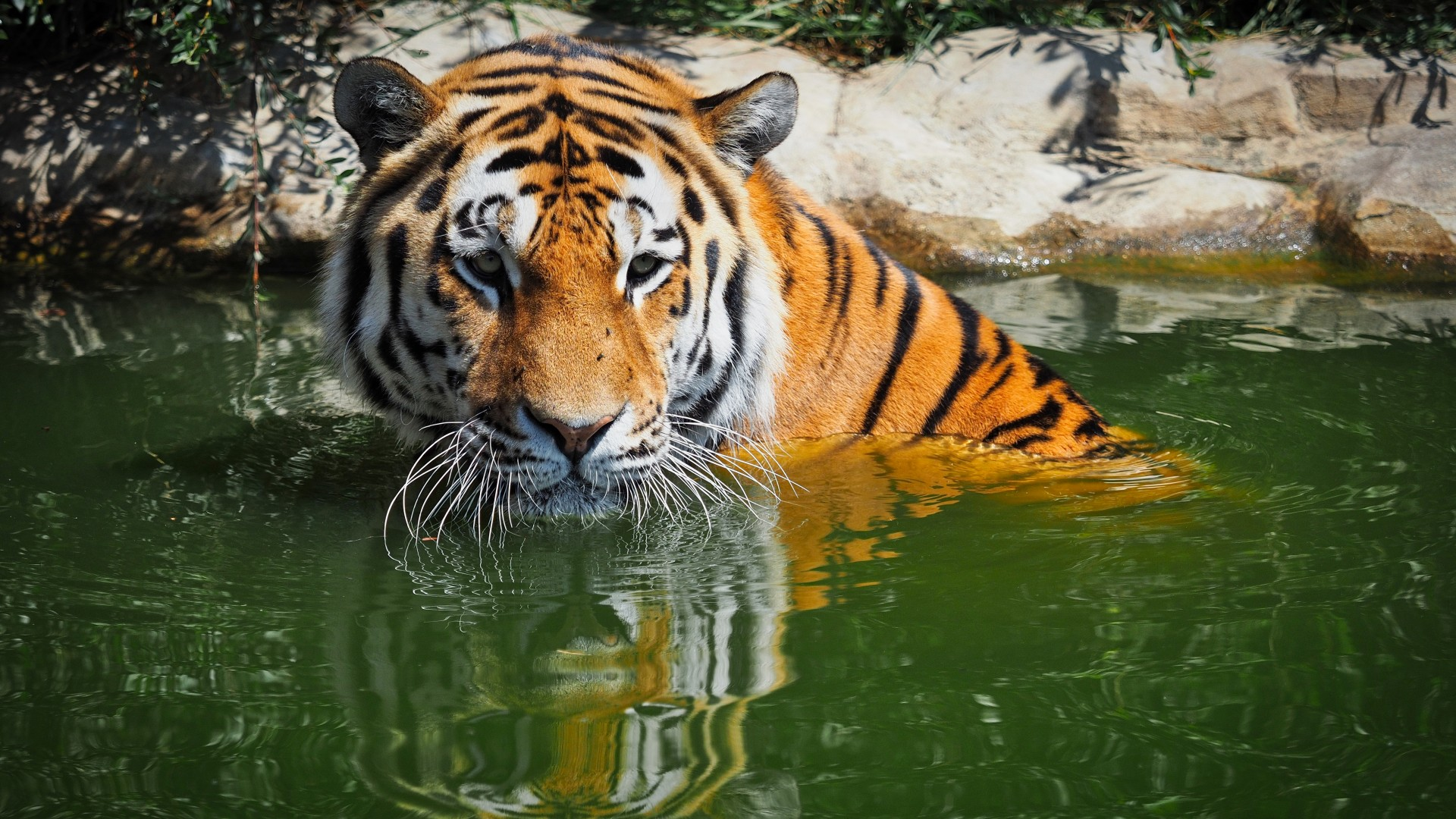 Bengal Tiger Background HD 1920x1080