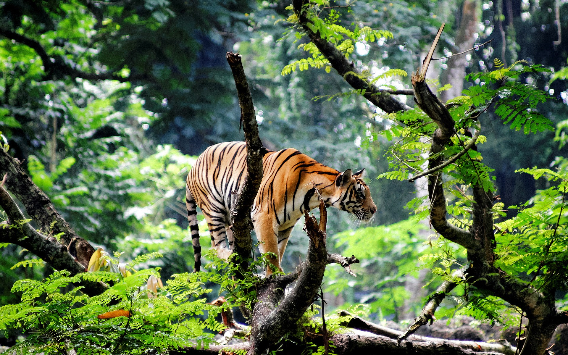 Bengal Tiger in Jungle images 1920x1200