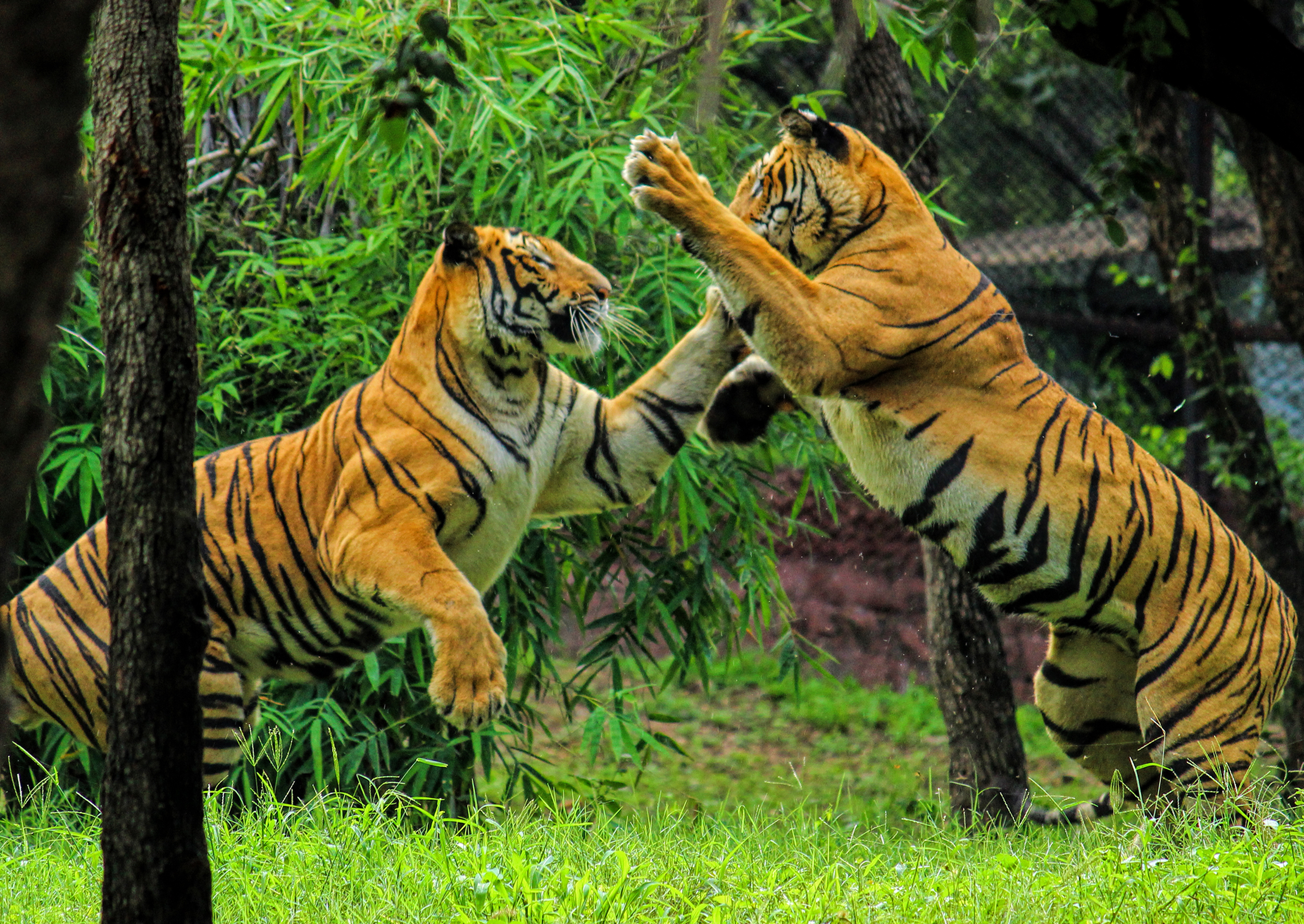 Royal bengal tiger play
