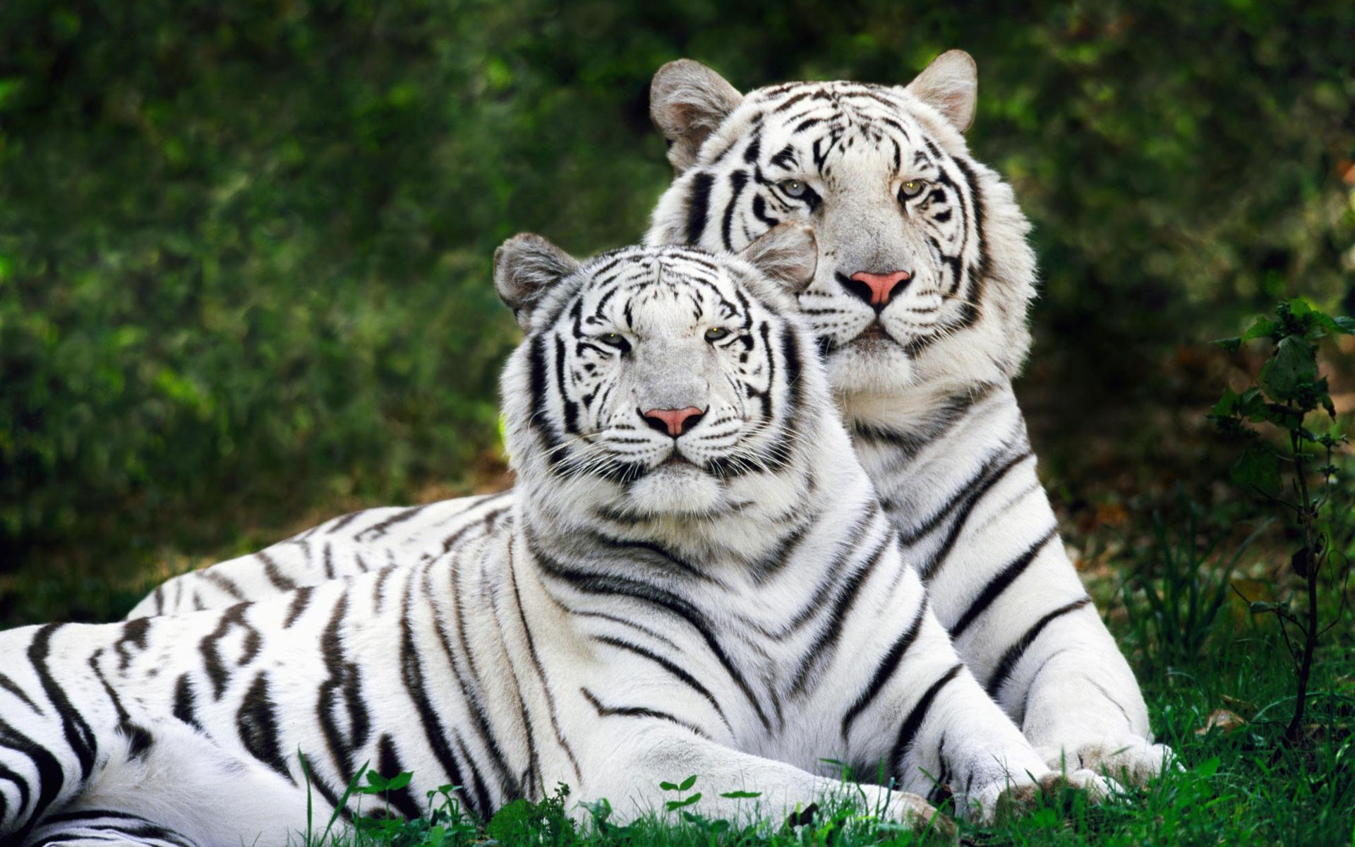 White Bengal Tigers Wallpaper 1920x1200 HQ
