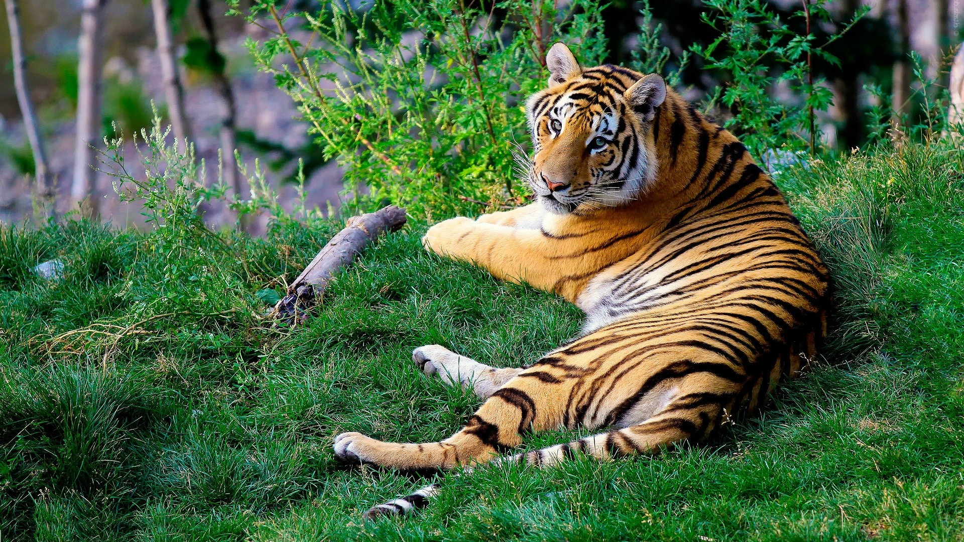 Bengal Tiger Photography HD Wallpapers Collection
