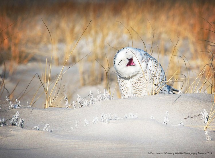 A snowy owl in Long Island, New York.