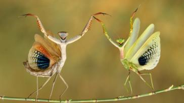 Praying mantises in Nicosia, Cyprus.