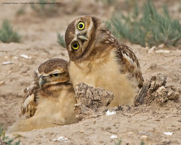 Burrowing owls in eastern Colorado.