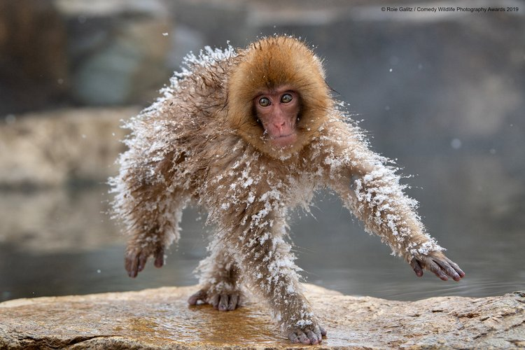A Japanese snow monkey in Japan.