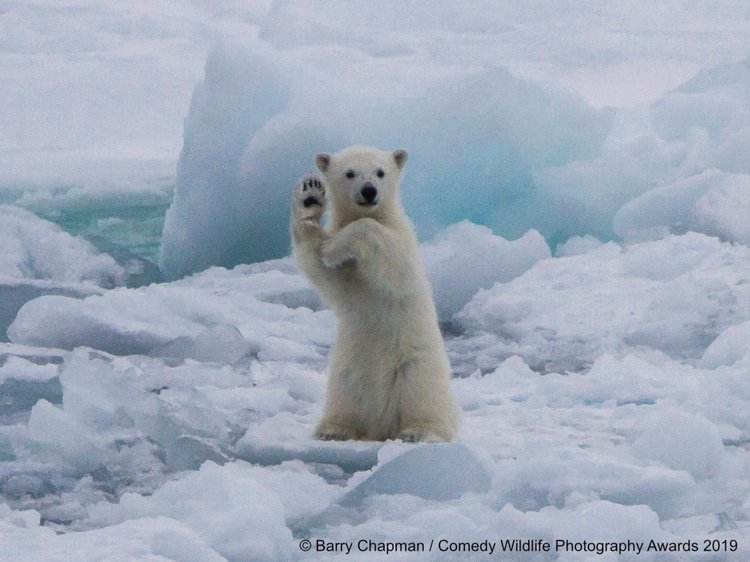 A polar bear in Spitsbergen.