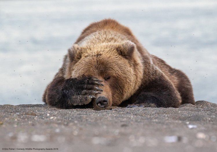 A brown bear in Alaska.