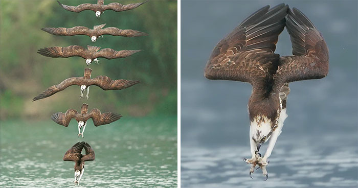 Incredible Photo of an Osprey in Mid-Hunt Captures Every Moment of Its Incredible Dive